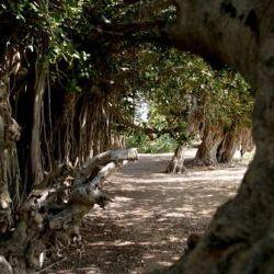 درخت انجیر معابد قشم (معرفی، آدرس، تصاویر)