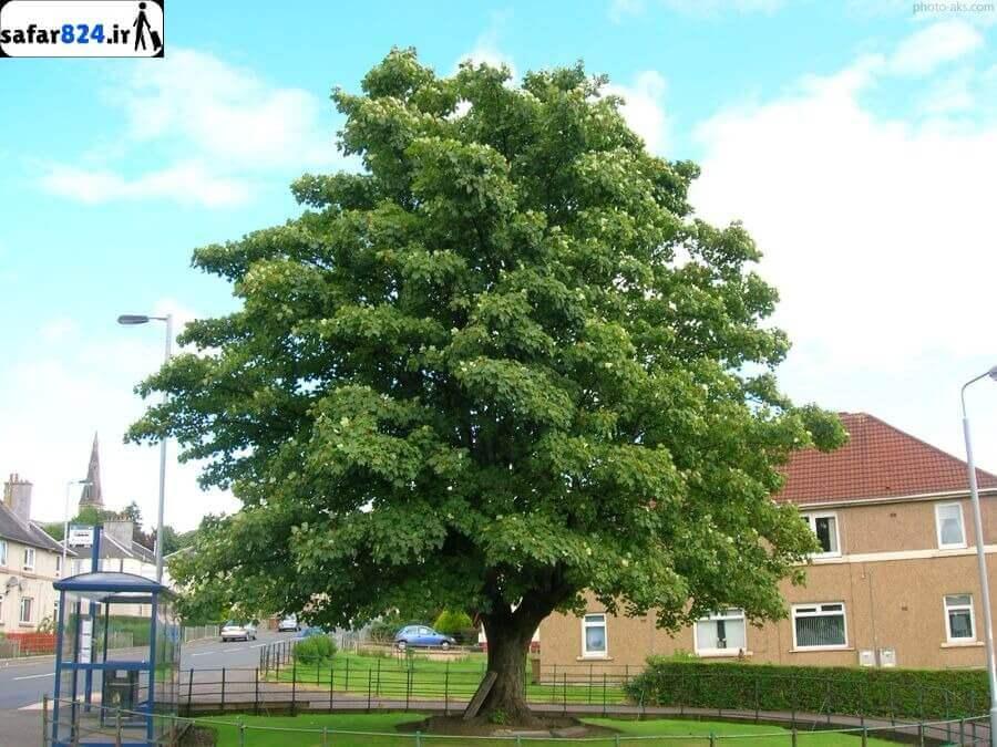 درخت چنار نماد شاندیز